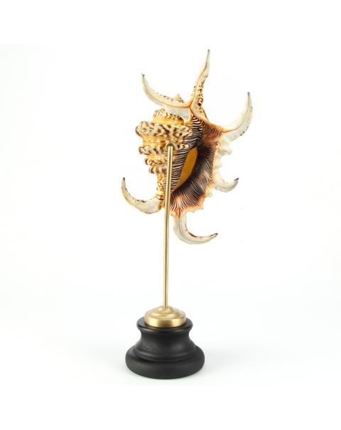 Lambis Truncata on wood and brass pedestal