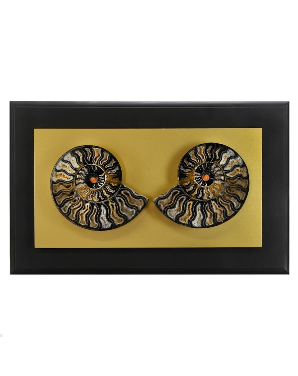Cleoniceras Ammonite in Golden Frame