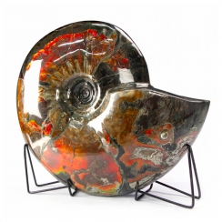 Ammonites (142)