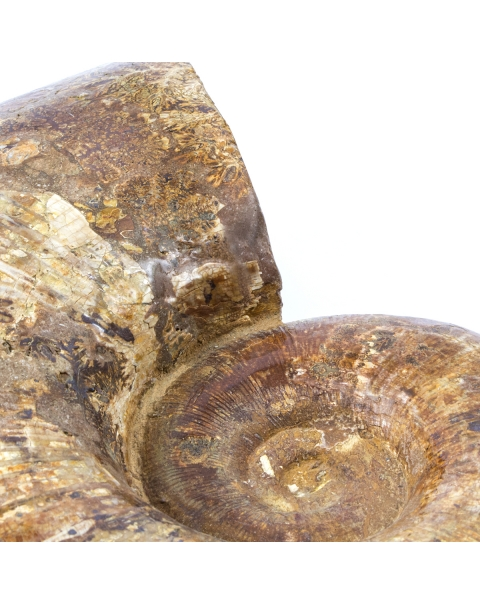Ammonite Lytoceras
