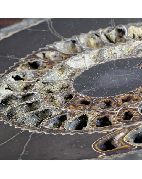 Section Ammonite Speetoniceras