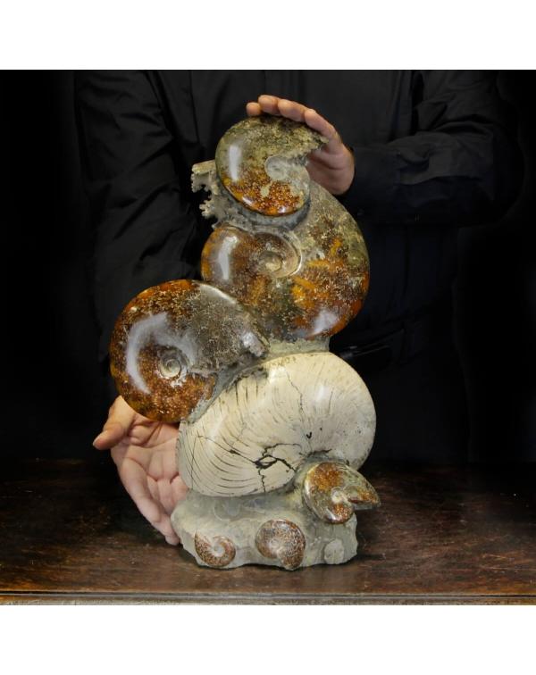Ammonite Cleoniceras Group