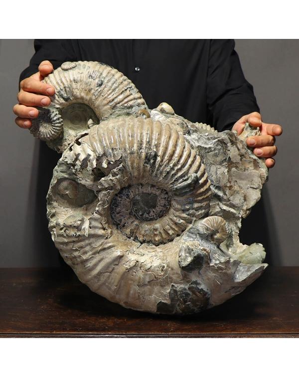 Jumbo Ammonite Douvilleiceras
