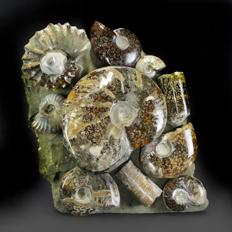 Group of Cleoniceras and Douvilleceras Ammonites