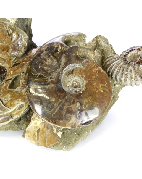 Group of Ammonites Cleoniceras