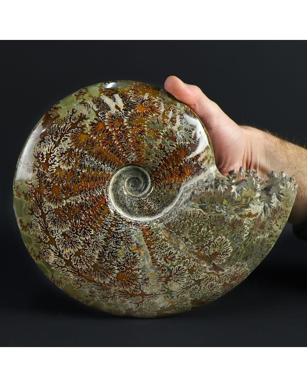 Cleoniceras Ammonites