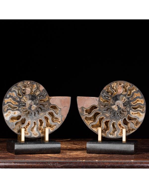 Black Cleoniceras Ammonites