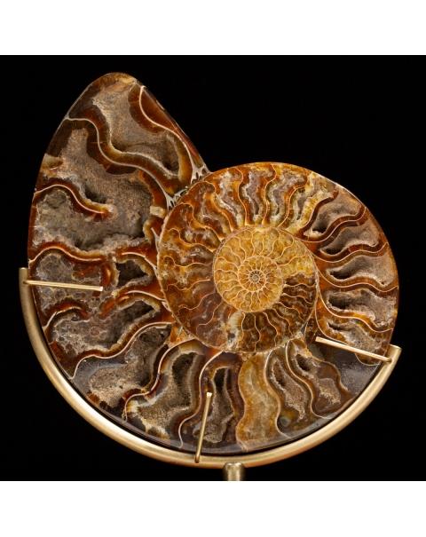 Cleoniceras Ammonite on Pedestal