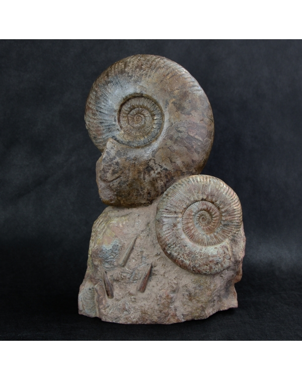Ammonites on Original Matrix