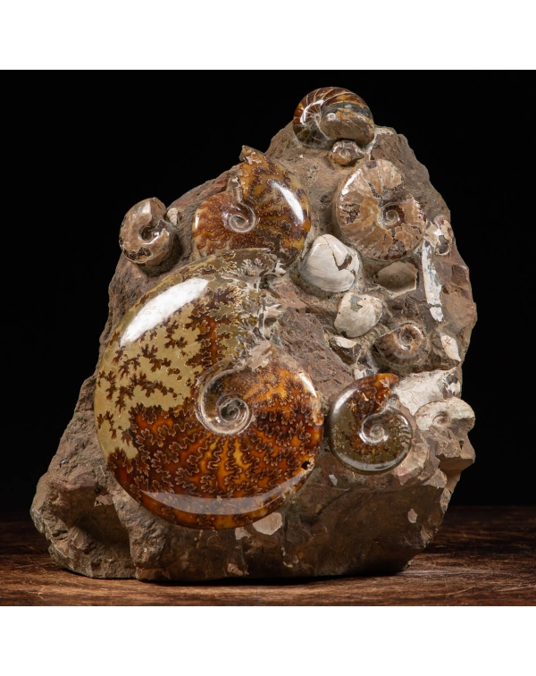 Cleoniceras Ammonites Group