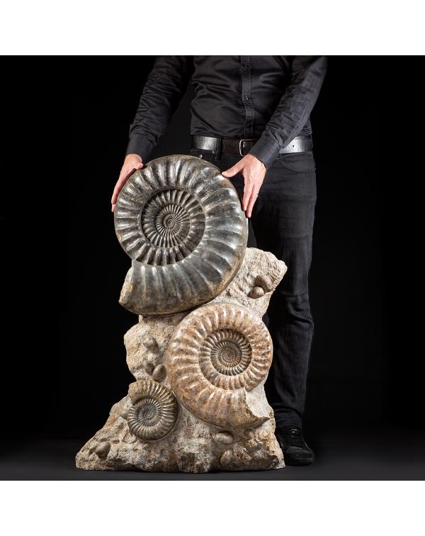 Ammonite Arietites Bucklandi