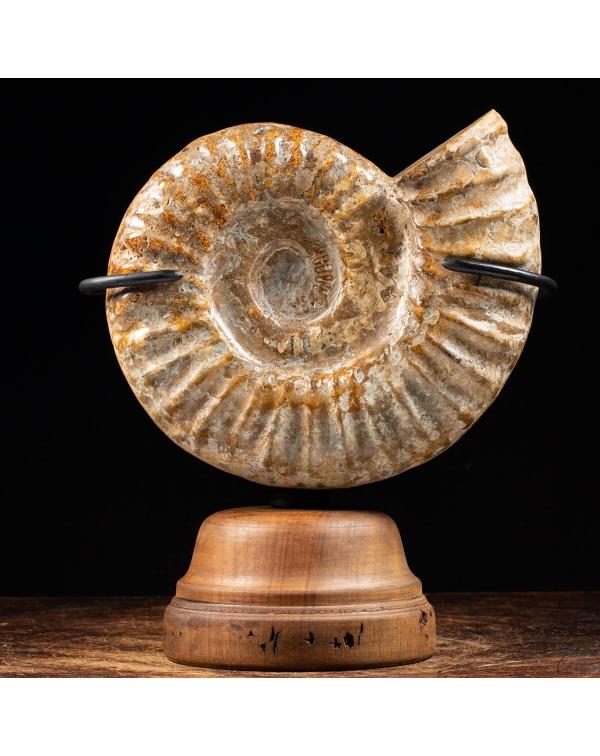 Ammonite Douvilleiceras