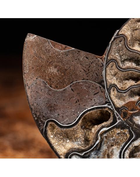 Black Cleoniceras Ammonite