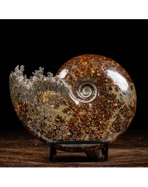 Ammonite Cleoniceras