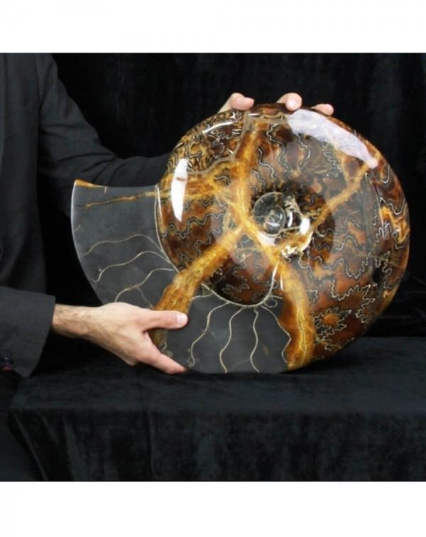 Rare Ammonite - Craspedodiscus Discofalcatus
