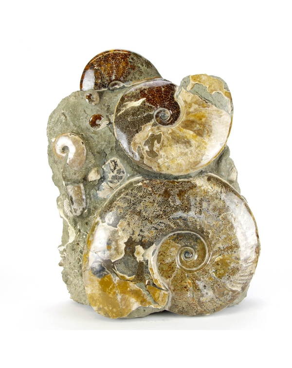Cleoniceras Ammonites Group