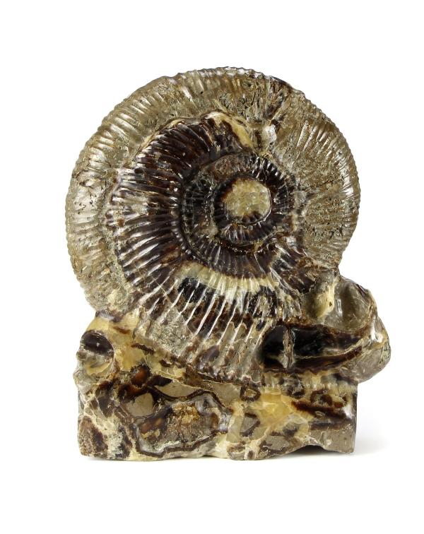 Ammonite Cleoniceras on Septaria