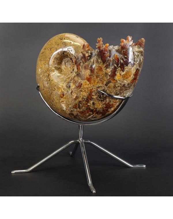 Phylloceratida Ammonite