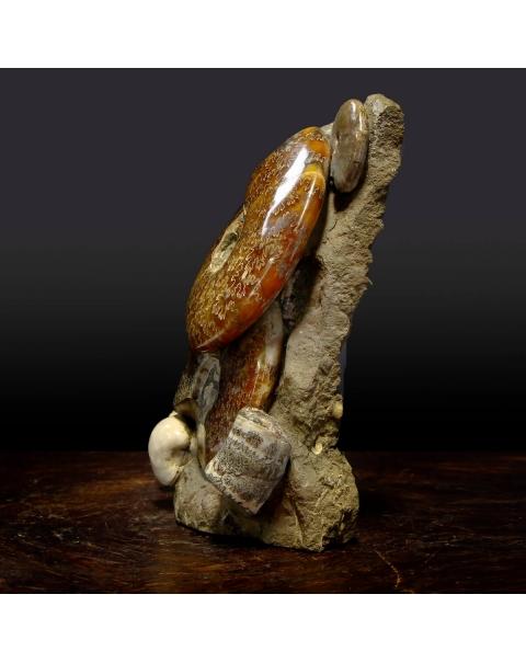 Ammonites Cleoniceras Group