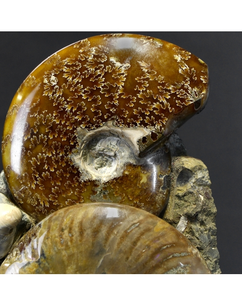 Ammonite Cleoniceras Group