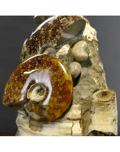 Ammonites Cleoniceras Group