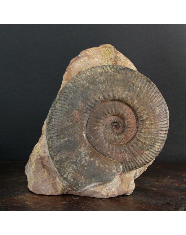 Hammatoceras Ammonite