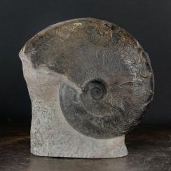 Harpoceras Ammonites (1)