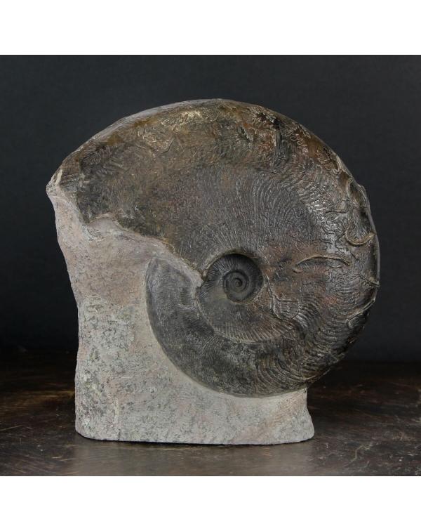 Ammonite Harpoceras