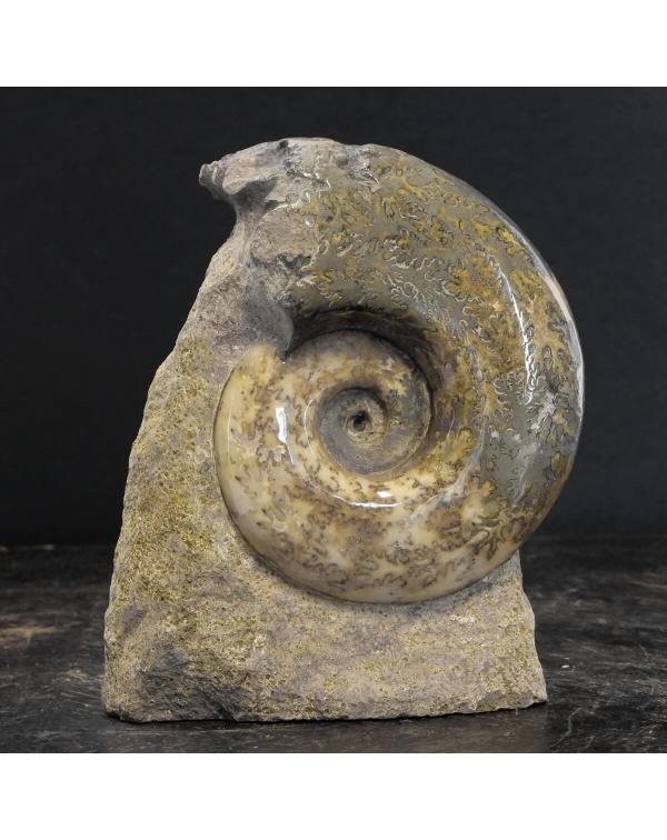 Ammonite Lythoceras Jurense