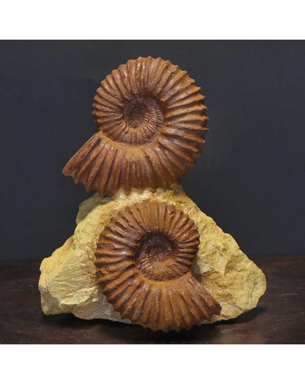 Acanthoceras Ammonites