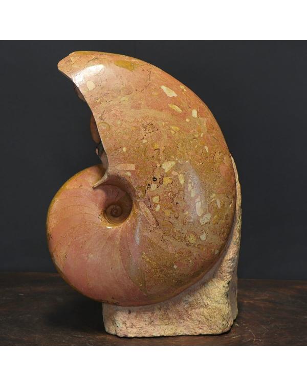 Nautilus Cenoceras Majesticum