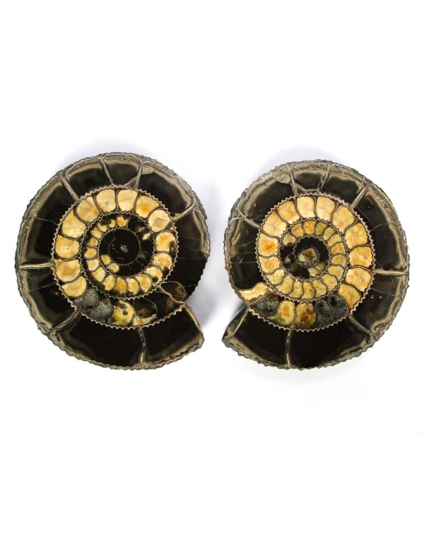 Speetoniceras Ammonite