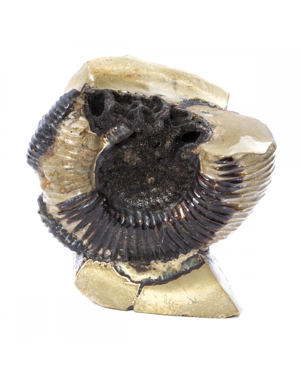Ammonite on Septaria