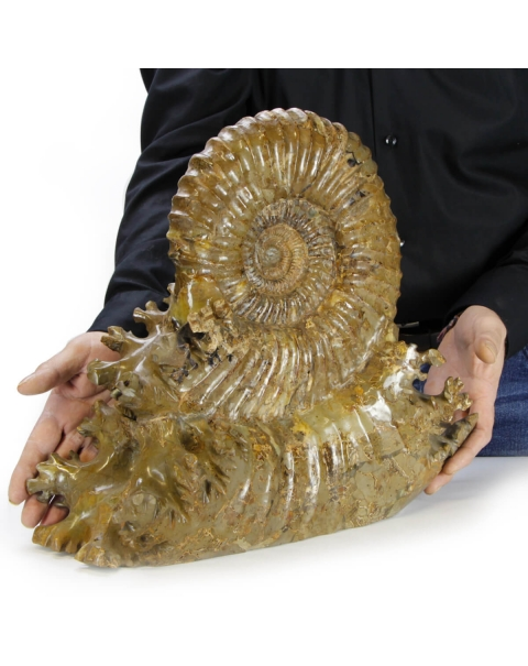 Ammonite Douvilleiceras on Septaria