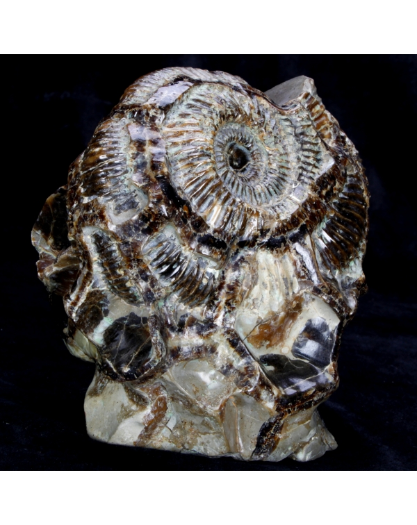Ammonite on Septaria