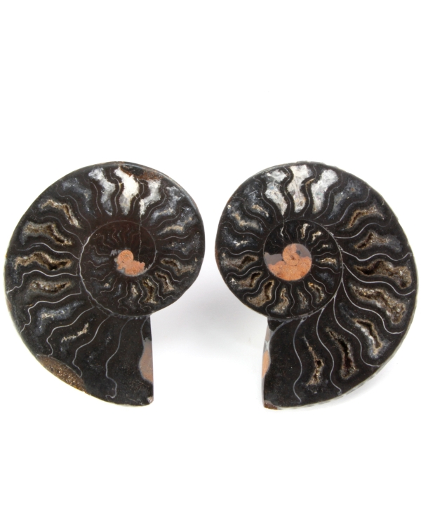 Black Cleoniceras Ammonite