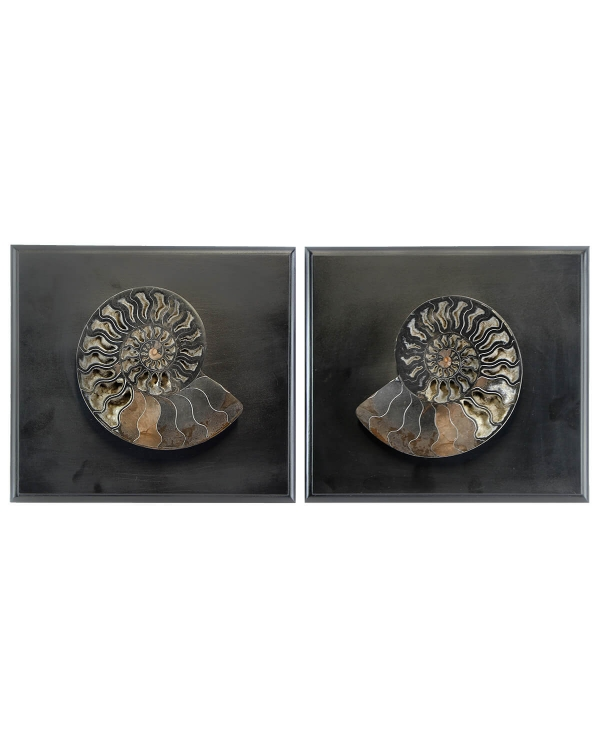 Cleoniceras ammonite on frame