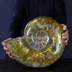 Ammonites Lytoceras (12)