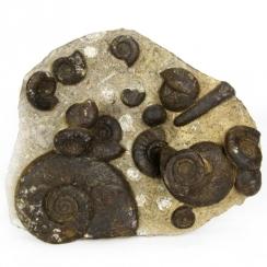 Ammonites Endosiphonites Muensteri and Epiwocklumeria Applanata (2)