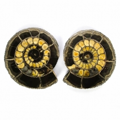 Sectioned Ammonites (22)
