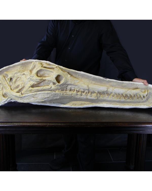 Dyrosaurus Fossil Skull