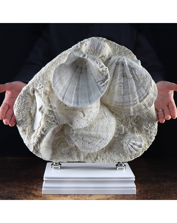 Pecten and Sea Urchin Fossils Slab