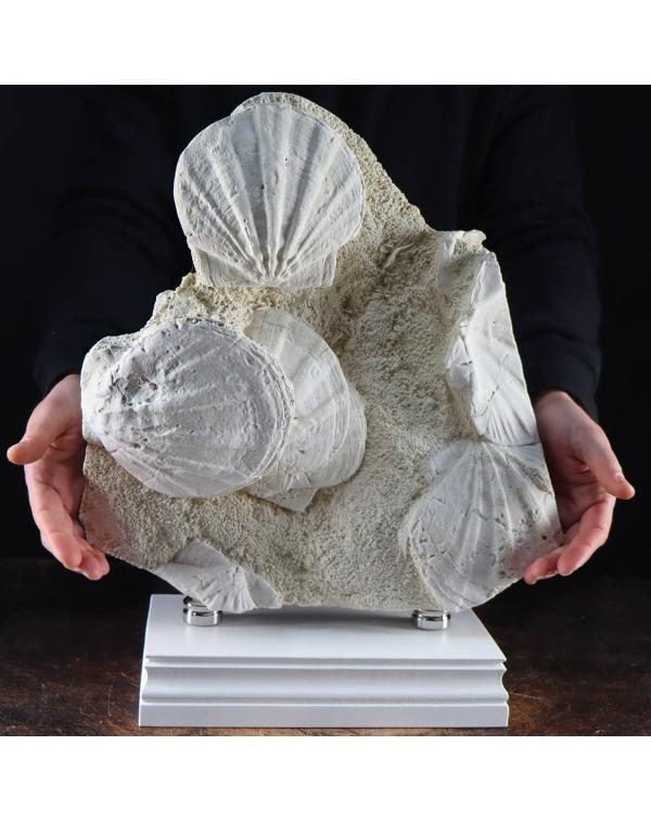 Fossil Pecten Slab
