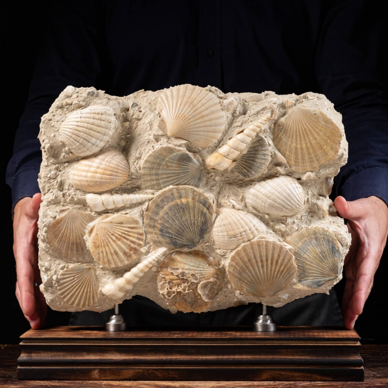 Fossil Shells Slab