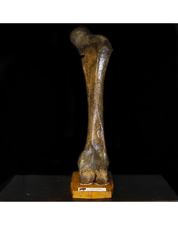 Mammoth Femur