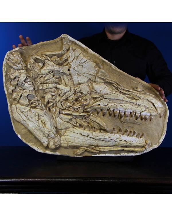 Mosasaurus Fossil Skull