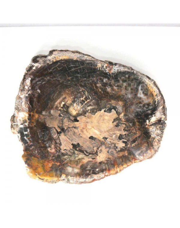 Slab of Fossil Wood