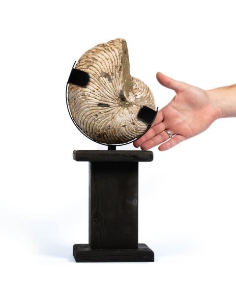 Fossil Nautiloide
