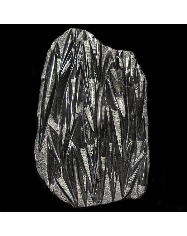 Slab with Orthoceras Fossils