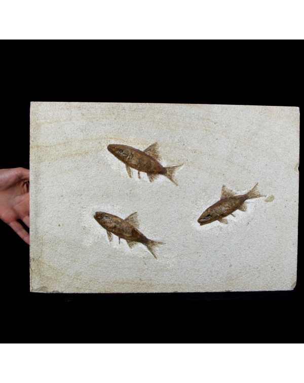Three Fossil Fishes